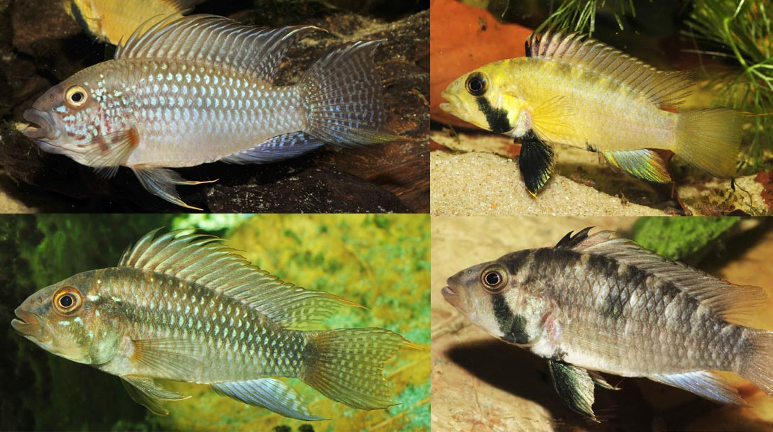 "Examples of males (right column) and females of the newly described maternal mouthbrooding Apistogramma, known prior as A. sp. ""Kelleri"". Images copyright Römer et. al."