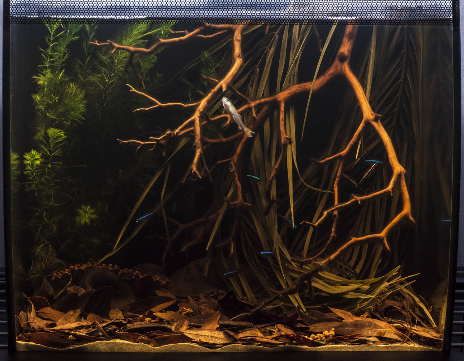 The finished aquarium contained all the elements that distinguish typical shallow-water igapó habitat in a natural-looking layout