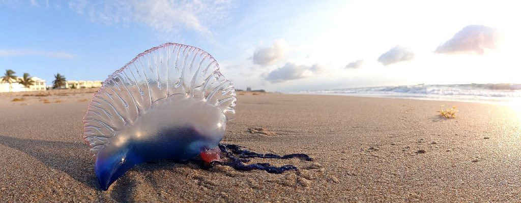 Definitively infamous due to its painful sting, the Portuguese Man o' War, Physalia physalis, was the subject of a recent study investigating first aid treatments for envenomations. Image by Volkan Yuksel, CC BY-SA 3.0