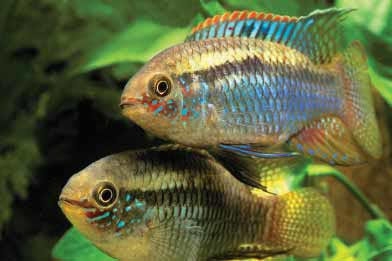 Dwarf Flag Cichlids, Laetecara curviceps, pair in courting mode. This species takes on iridescent colors and goes into spawning mode in the author's patio water gardens. Image by Christian Piednoir.