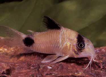 Panda Cory, Corydoras panda: a candidate for a summer out-of-doors. Image by Aaron Norman.
