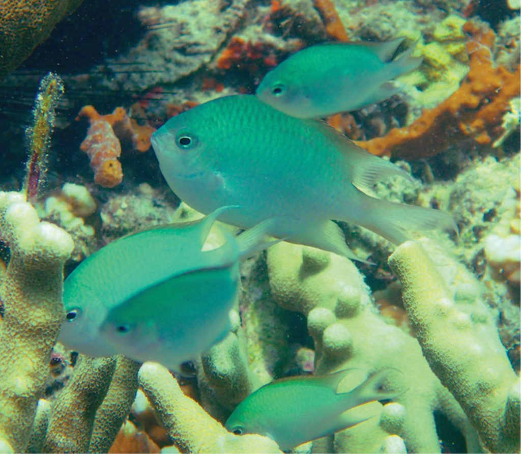 To some it's just another blue green damselfish, but to others, Alelia's Damselfish is an exciting new marine fish species worthy of some attention from marine fish breeders. Image: Bernadi et al.