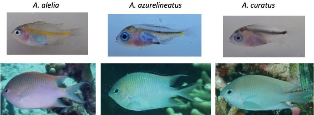 All three species of Altrichthys are attractive as adults, suggesting some promise as aquaculture candidates. Image: Bernardi et al.