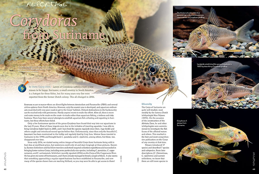 Lovers of Corydoras catfishes have a new reason to be happy. Suriname, a small country in South America, is a hotspot for these fishes, but for many years very few were exported from the former Dutch colony. This all changed in 2016. Learn more from Hans-Georg Evers.