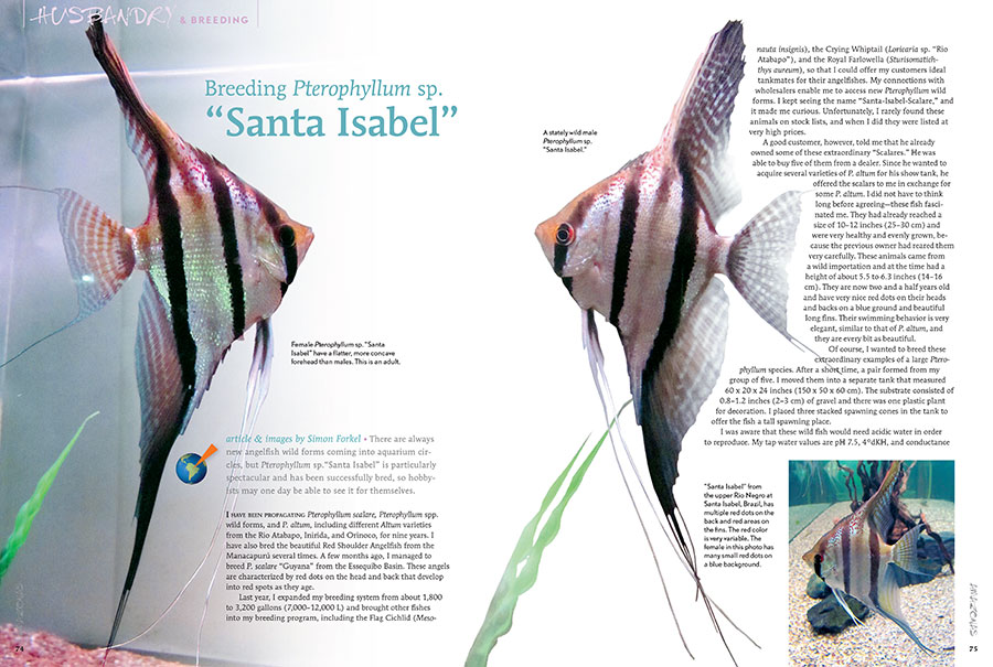 Simon Forkel, well known for breeding the Altum Angelfish, Pterophyllum altum, returns to share his experiences breeding one of the most exciting wild-type Angelfish in the aquarium hobby at this time, the Santa Isabel Angelfish.