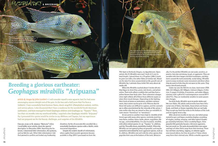 """""""I presumed this species would be similar to my Altifrons and Tapajos, but my experiences had not prepared me for the beauty, challenges, and surprises of the Mirabilis."""" First-time contributor John Lambert alluding to the challenges he faced in producing the still hard-to-find Geophagus mirabilis """"Aripuana."""""""