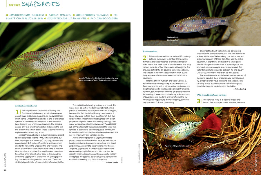AMAZONAS Magazine's Species Snapshots provide an insightful glimpse into what's new and hot in the aquarium trade. In this issue: Limbochromis robertsi, Barbus Walkeri, Wild-type Variatus Platies (Xiphophorus variatus), Epiplatys chaperi schreiberi, Eugnathogobius siamensis, and Pao cambodgiensis.
