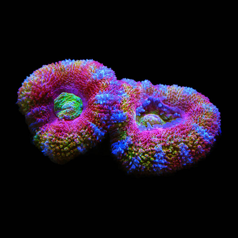 A gorgeous specimen of the Aqua Medic Rainbow Acan.