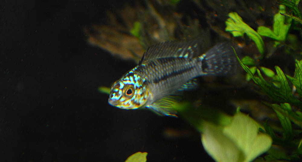 "...but it kind of seems like Apistogramma agassizii ""Neon"" might not really exist."