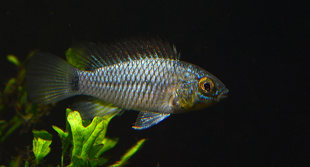 "So this was sold as Apistogramma agassizii ""Neon""..."