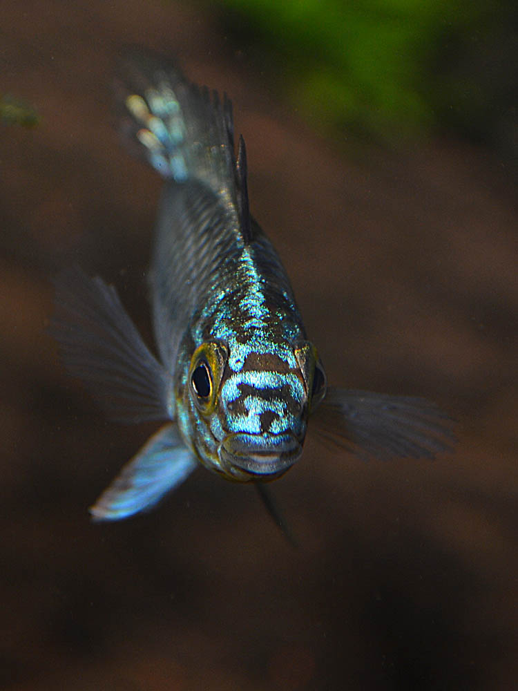 "Definitely not shy, at least in my fishroom, it looks like these mystery Apistos are the fish best known as Apistogramma sp. ""Steel Blue"""