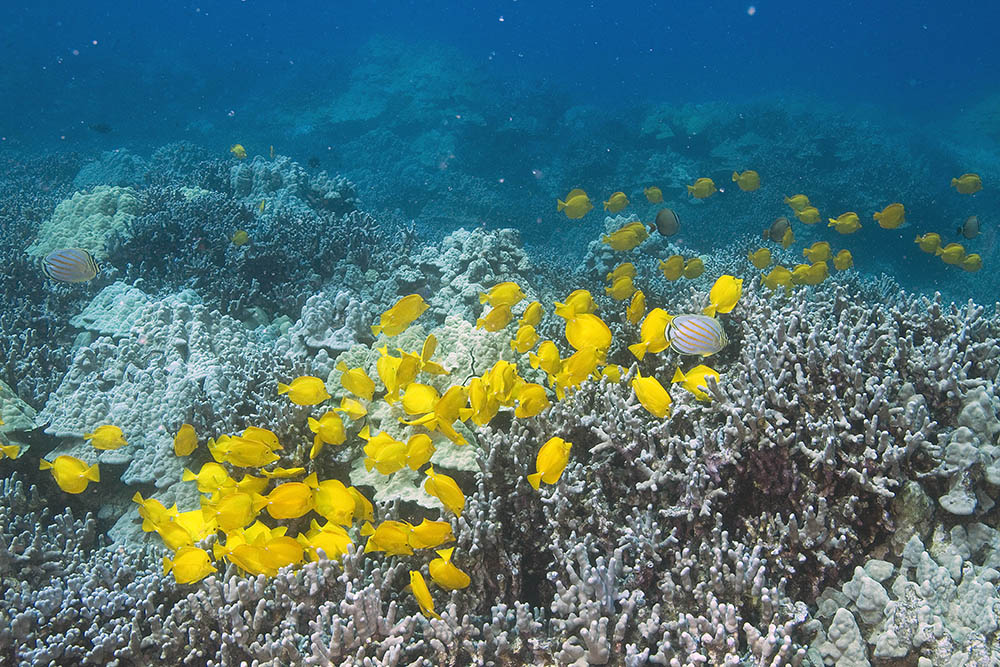The Yellow Tang, Zebrasoma flavescens, is the iconic marine aquarium species at the heart of debate over Hawaii's marine aquarium fishery. Image by Marj Awai.