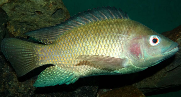 Nile TIlapia, Oreochromis niloticus: one of the world's most notorious invasive species, proposed for introduction into Brazilian waters.