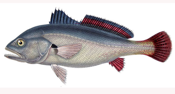 The South American Silver Croaker, Plagioscion squamosissimus, proposed for culturing in cages in Brazilian reservoirs. Figure modified from Froese and Pauly.