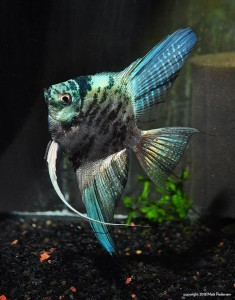 A Blue Marble Ghost Angelfish from Lee Gordon's Angelmania Hatchery.