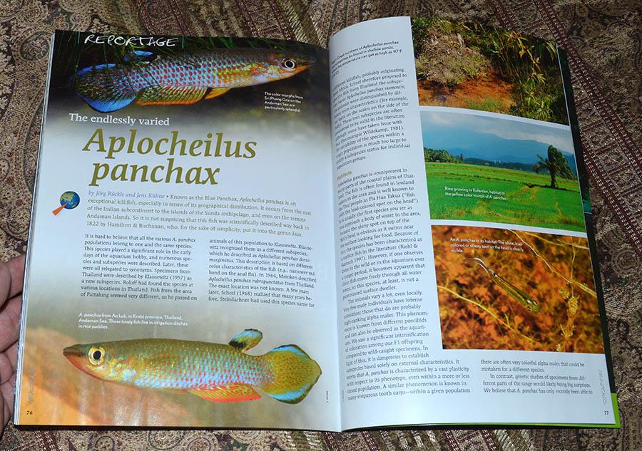 The endlessly varied Aplocheilus panchax - by Jörg Rückle and Jens Kühne