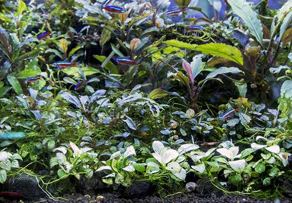 Foreground plants, including a 'platinum' variant of Anubias minima