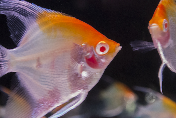 Goldhead Blushing Albino Angelfish