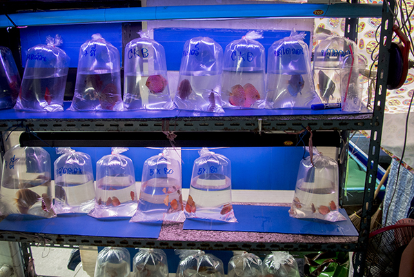 Discus, pre-bagged for sale