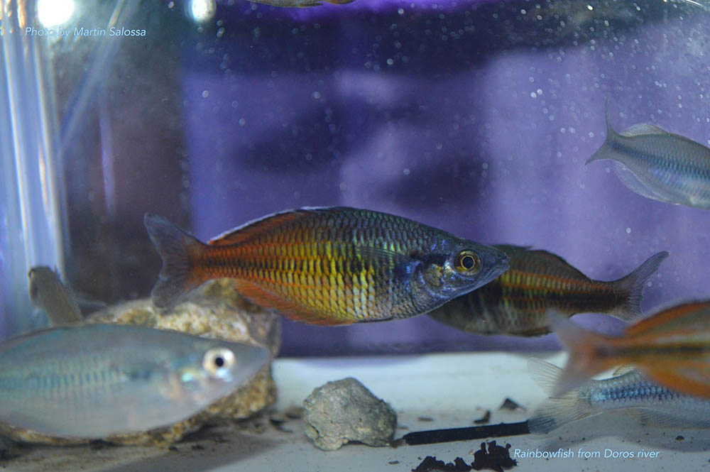 A selection of rainbowfishes caught in the Doros River - image courtesy Save Ayamaru Lakes / M. Salossa