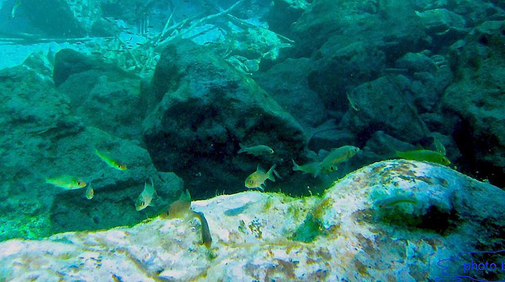 Invasive Cyprinus carpio (Carp) living in the Ayamaru Lakes - image courtesy Save Ayamaru Lakes / M. Salossa