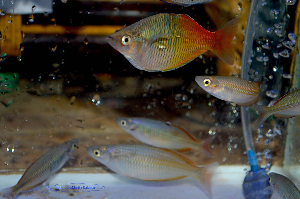 Melanotaenia boesemani and M. ayamaruensis - image courtesy Save Ajamaru Lakes / M. Salossa