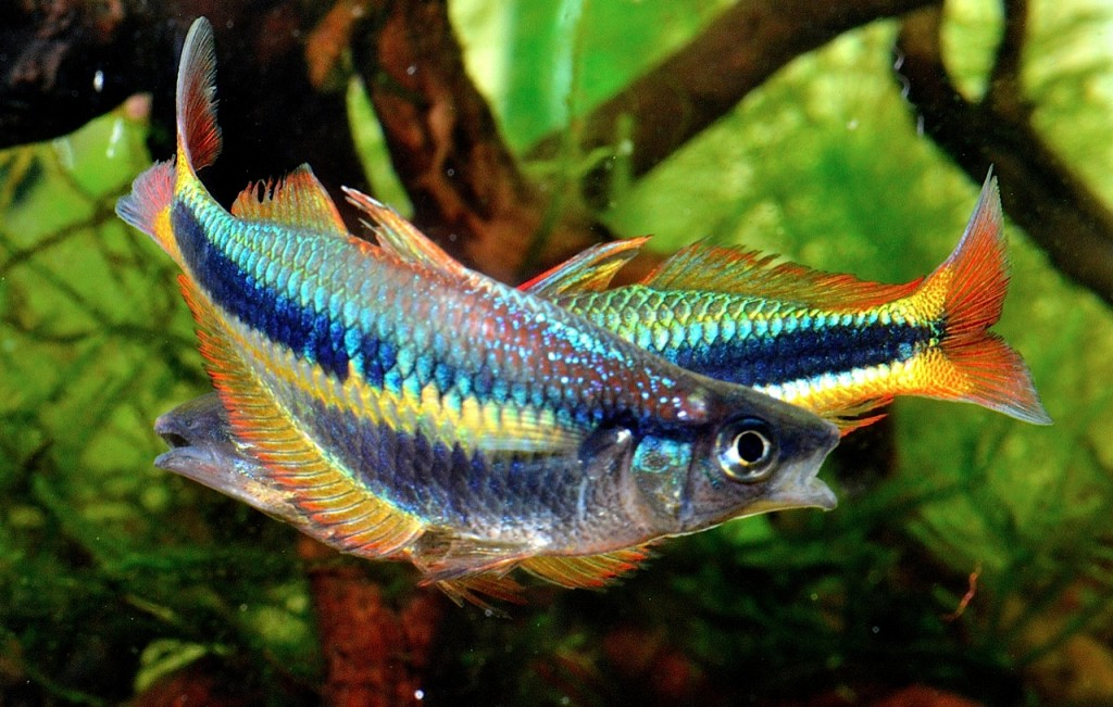 """The day after a water change, two male Chilatherina alleni """"Wapoga"""" wrestle for dominance. in Steve Waldron's aquarium."""