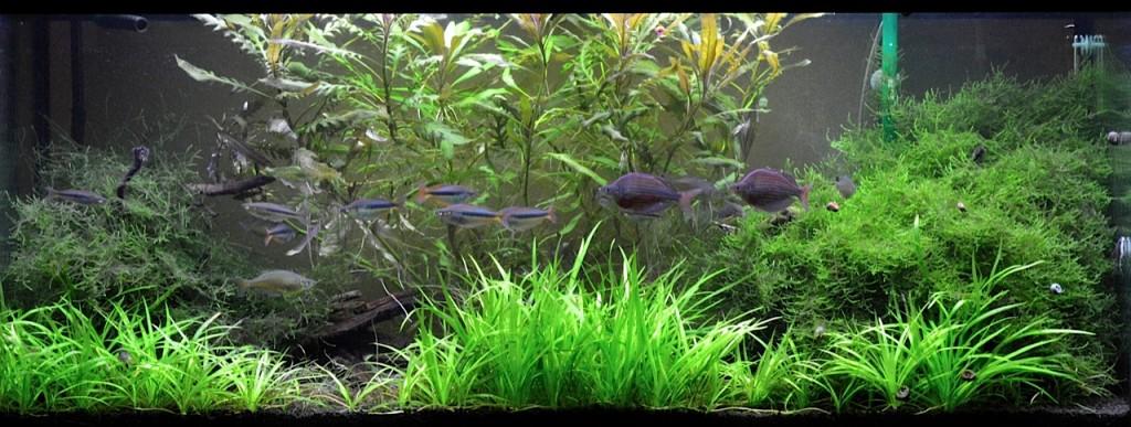 Steve Waldron's living room rainbowfish aquarium filled with Glossolepis dorityi, Chilatherina alleni and Corydoras sterbai.