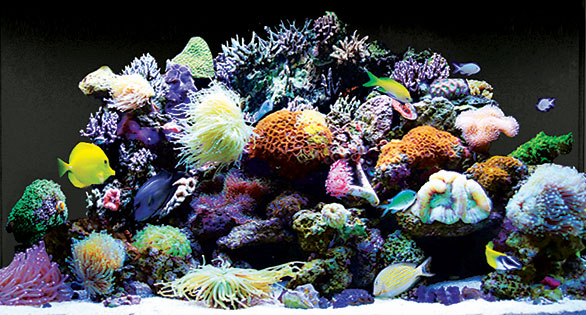 Thriving reef in a 250-L (66-g) Red Sea Max 250 plug-and-play system.