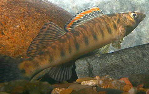 Percina rex, the Roanoak Logperch
