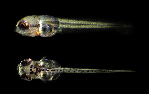 """Gold Gourami (Trichogaster trichopterus) larva with globular """"water wings."""""""