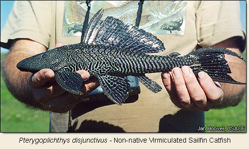 Pterygoplichthys disjunctivus - Image by Jan Hoover, US Army Core of Engineers