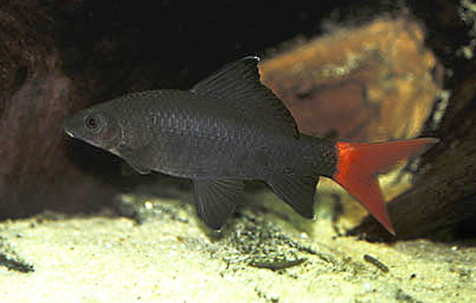 Redtailed Black Shark, extinct in the wild, but thriving in home aquariums.