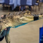 Gator Encounters was among the new exhibits at the World Pet Association's third annual Aquatic Experience – Chicago, Nov. 6-8, 2015.