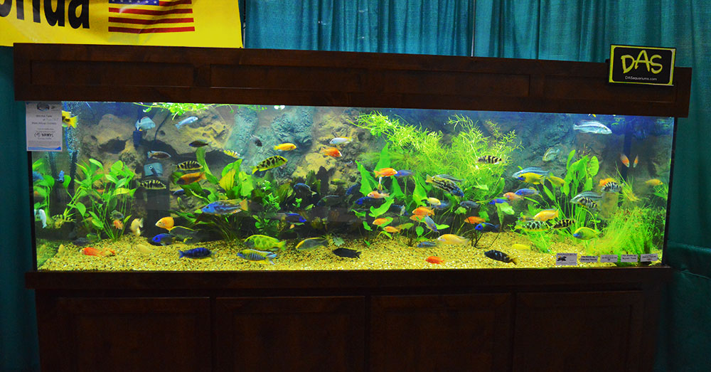 Rift Lake Cichlids on display at the FTFFA Booth, Aquatic Experience - Chicago, 2015.