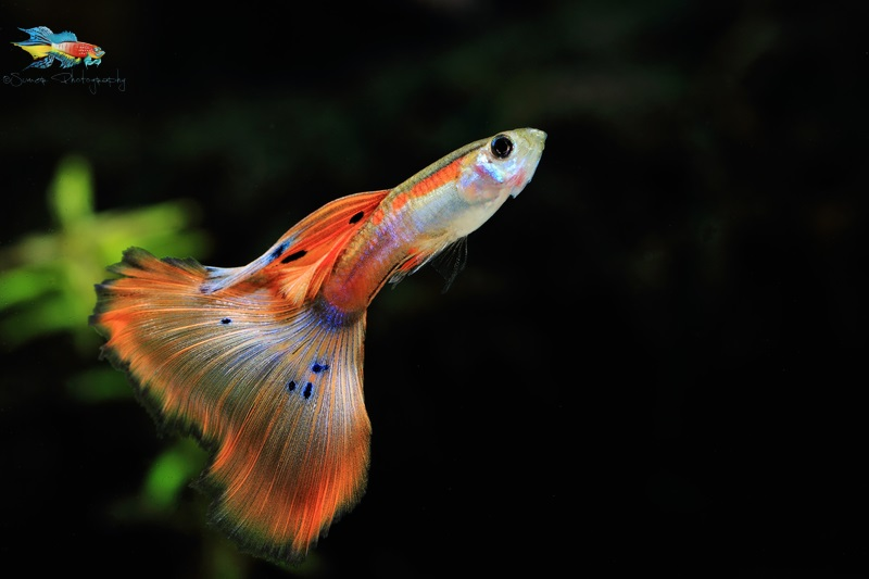 After 3-4 generations of selective breeding, I am able to see offspring that have less of black pigmentation. I wish to take this lineage where I'd have a pink colored guppy.