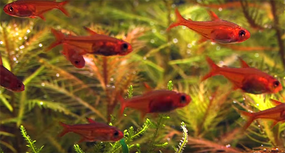 Video Newfound Love For The Ember Tetra