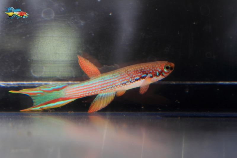 Rivulus mahadiensis, a very sought after fish was also in the auction.
