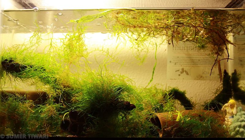 Breeding tank for Dario hysginon. It has a lot of java moss in there.