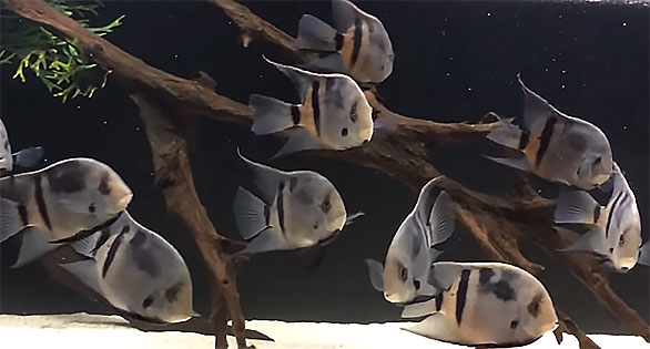 Move over Uaru amphiacanthoides, you're now just a cheap version of the Panda Uaru (Uaru fernandezyepezi) - screencapture from video by Rootlier - watch below.