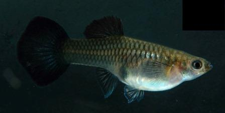 Asian Black Moscow female of Robson coloration, with tapering dorsal and minimal extension. Photo courtesy 曾皇傑 Tseng Huang Chieh