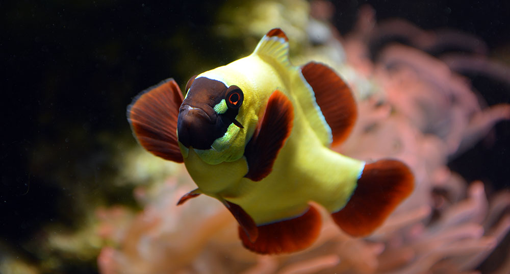 Friday photospread gold nugget gold flake maroon clownfish for Clown fish for sale
