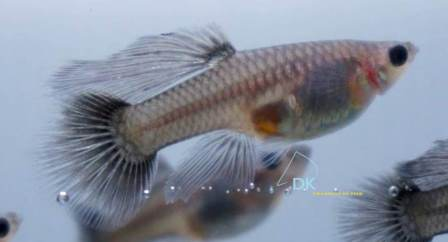 Robson colored female, with non-tapering extended dorsal. Photo courtesy Desmond Koh