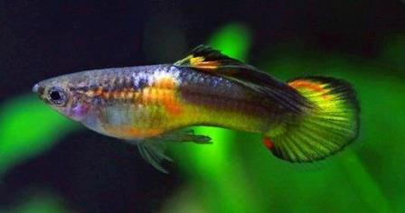 Robson type male with Saddleback color & pattern. Photo courtesy Gernot Kaden