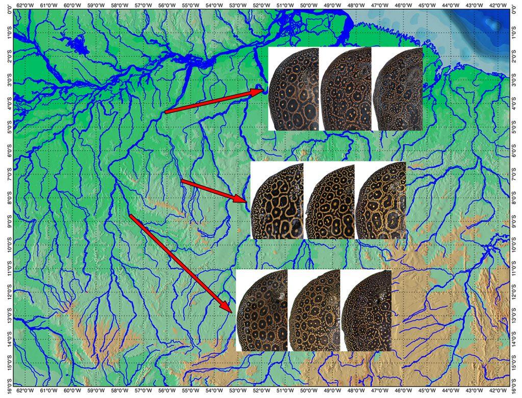 Distribution and pattern variation of the Pearl Ray (P. jabuti) along the Tapajos Basin
