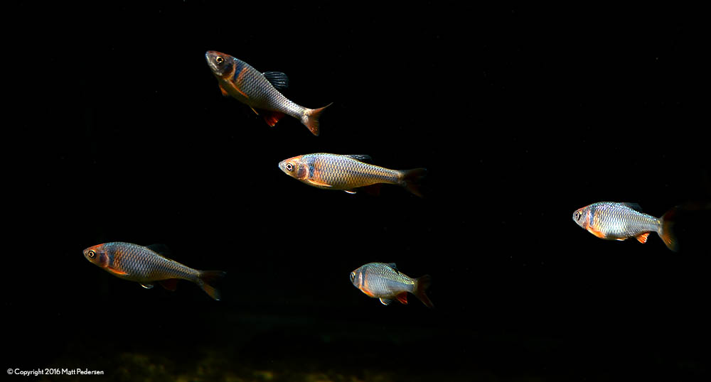 These Rainbow Dace tirelessly cruise the tank in a loose group.