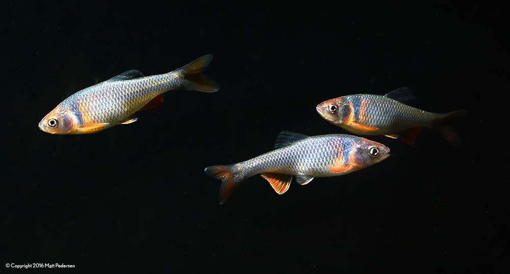 Rainbow Dace are awash in blues and salmon pinks and oranges, truly rivaling many other freshwater fish in the looks department.