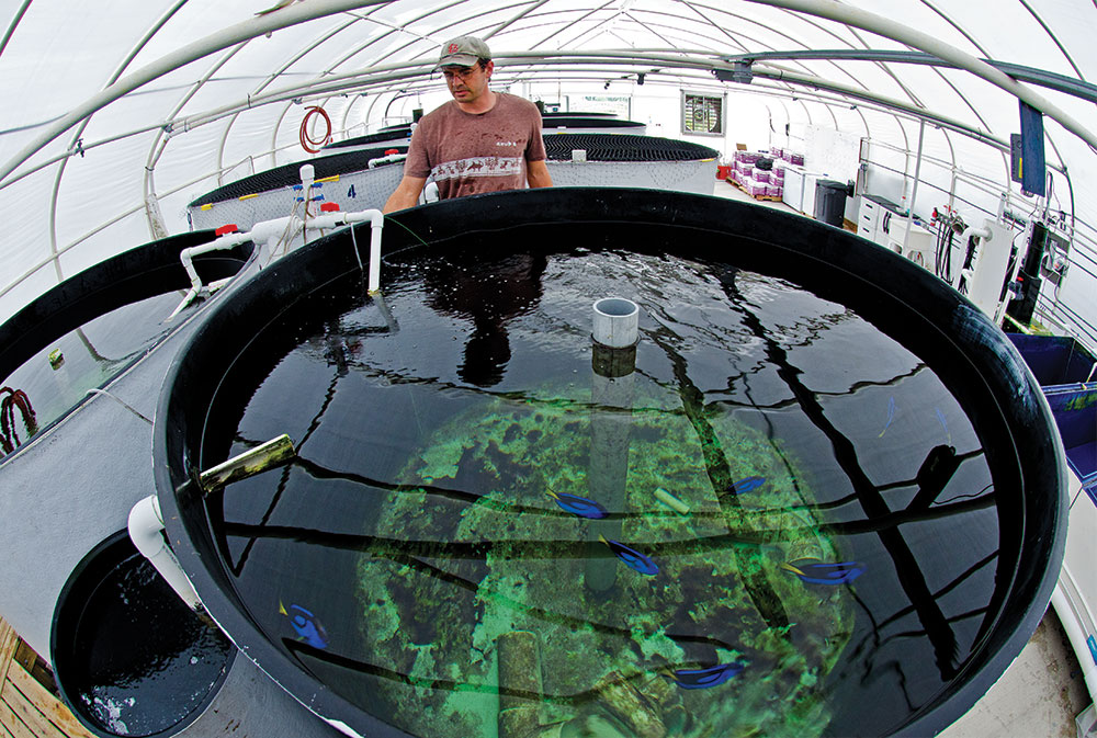 Biologist Eric Cassiano inspects an 800-gallon (3,028-L) Blue Tang (P. hepatus) broodstock tank at the University of Florida's Tropical Aquaculture Laboratory. Broodstock tanks are supplied with a circular flow of water that brings pelagic eggs toward the collection bar (left foreground) and egg-collecting tank (lower left).