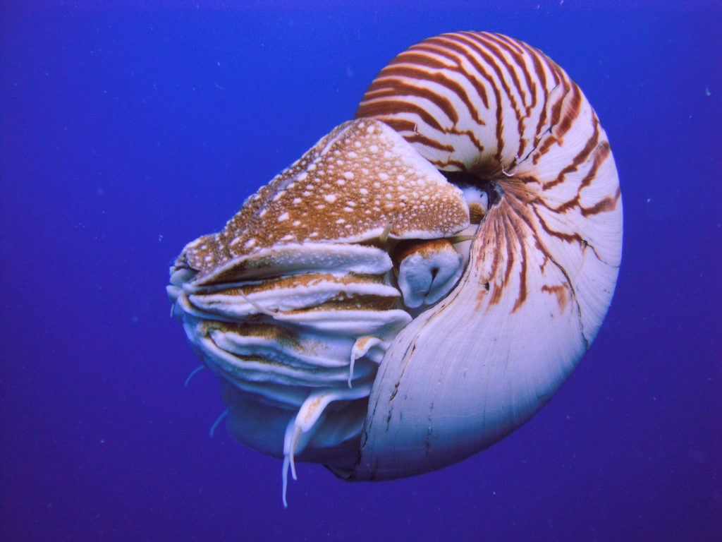 Trade in Nautilus spp., such as this N. belauensis from Palau, will now be regulated under CITES Appendix II. The curio/shell trade is mainly cited as the cause for population declines of Nautilids. Image by Manuae - CC BY-SA 3.0
