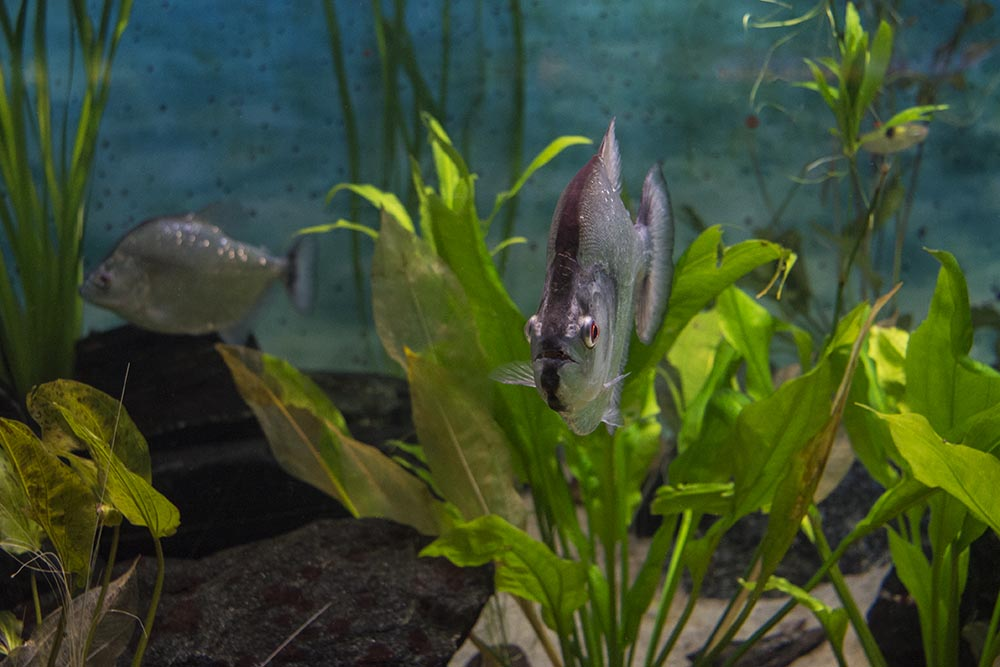 The rare Violet Line Piranha (Serrasalmus geryi) showing its distinctive dorsal stripe